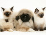 Birman-Cross Kittens with Pekingese Puppy Prints by Jane Burton