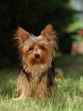 Yorkshire Terrier Photographic Print by  Steimer
