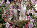 10-Week, Grey Burmese-Cross Kittens, on Birdbath Among Pink Mallow Flowers and Double Clarkia Posters by Jane Burton