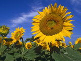 Sunflowers, Illinois, USA Photographic Print by Lynn M. Stone