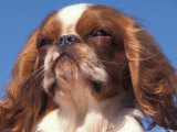 King Charles Cavalier Spaniel Adult Portrait Posters by Adriano Bacchella
