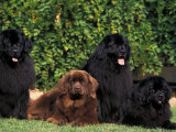 Domestic Dogs, Four Newfoundland Dogs Resting on Grass Prints by Adriano Bacchella