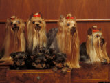 Domestic Dogs, Four Yorkshire Terriers with Four Puppies in a Drawer Photographic Print by Adriano Bacchella