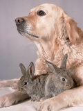 Golden Retriever, and Young Domestic Rabbits Photographic Print by De Meester