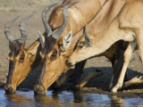 Red Hartebeest, Adults and Young Drinking, Etosha National Park, Namibia Prints by Tony Heald