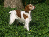 Brittany Spaniel, Domestic Gundog, USA Prints by Lynn M. Stone