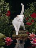 White Domestic Cat Watching Goldfish in Garden Pond Poster van Jane Burton