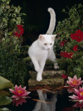 White Domestic Cat Watching Goldfish in Garden Pond Posters by Jane Burton