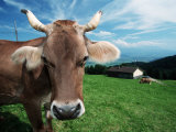Domestic Cow on Alpine Pasture, Switzerland Photographic Print by De Meester