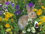 Mini Rex Rabbit, Amongst Pansies, USA Photographic Print by Lynn M. Stone