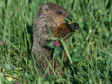 Woodchuck, Feeding, Minnesota, USA Photographic Print by Lynn M. Stone
