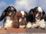 Three King Charles Cavalier Spaniel Adults on Wall Photographic Print by Adriano Bacchella