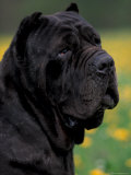 Black Neopolitan Mastiff Portrait Photographic Print by Adriano Bacchella