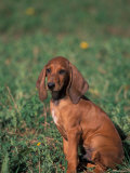Smooth / Short-Haired Segugio Italiano Hound Puppy Portrait Photographic Print by Adriano Bacchella