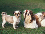 Two Shih Tzus, One Has Been Clipped and the Other with Groomed Long Hair Premium Photographic Print by Adriano Bacchella