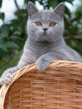 British Blue Shorthair Cat Photographic Print by De Meester