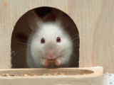 White Mouse in Hutch Print by Petra Wegner