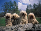Domestic Dogs, Four Pulik / Hungarian Water Dogs Sitting Together on a Rock Photographic Print by Adriano Bacchella