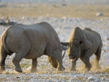 Black Rhinoceroses, Female Rejecting Amorous Male's Advances, Etosha National Park, Namibia Print by Tony Heald