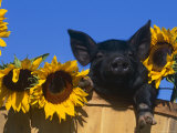 Domestic Piglet, Amongst Sunflowers, USA Print by Lynn M. Stone