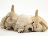 Golden Retriever Puppy Sleeping Between Two Young Sandy Lop Rabbits Fotografisk tryk af Jane Burton
