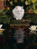 White Domestic Cat Watching Goldfish in Garden Pond Print by Jane Burton