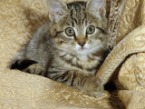 Domestic Cat, Female Tabby Kitten on Chair Print by Jane Burton