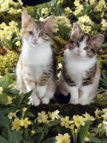 Tabby-Tortoiseshell-And White Kittens, 11-Week Sisters, Among Pink and Yellow Primroses Photographic Print by Jane Burton
