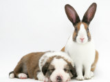 Fawn Dutch Rabbit with Sleeping Sable-And-White Border Collie Pup Photographic Print by Jane Burton