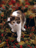 Domestic Cat, Young Tortoiseshell-And-White Among Cotoneaster Berries and Ground Elder Seedheads Photographic Print by Jane Burton