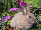 Mini Rex Rabbit, USA Photographic Print by Lynn M. Stone