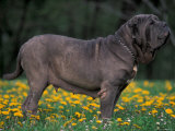 Black Neopolitan Mastiff Standing in Show Stack / Pose in Field Prints by Adriano Bacchella