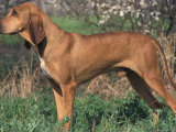 Smooth / Short-Haired Segugio Italiano Hound Standing in Show Stack / Pose Photographic Print by Adriano Bacchella