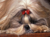 Shih Tzu Lying Down with Hair Tied Up Photographic Print by Adriano Bacchella