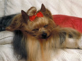 Yorkshire Terrier Sleeping on Cushion Photographic Print by Adriano Bacchella