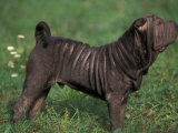 Black Shar Pei Standing in Show Stack / Pose Photographic Print by Adriano Bacchella