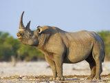 Black Rhinoceros, Flehmen Response, Etosha National Park, Namibia Print by Tony Heald