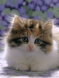 Domestic Cat, 8-Week, Fluffy Tortoiseshell-And-White Kitten Posters by Jane Burton