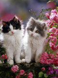 Domestic Cat, Black and Blue Bicolour Persian-Cross Kittens Among Pink Climbing Roses Photo by Jane Burton