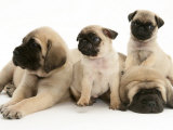 Fawn Pug Pups with Fawn English Mastiff Puppies Poster by Jane Burton