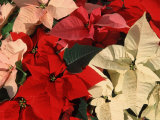 Various Poinsettias in Bloom Poster by De Cuveland