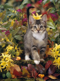 Domestic Cat, 12-Week, Agouti Tabby Kitten Among Yellow Azaleas and Spring Foliage Photographic Print by Jane Burton