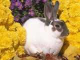 Mini Rex Rabbit, Amongst Flowers, USA Photographic Print by Lynn M. Stone