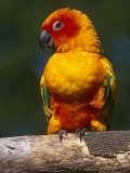 Sun Conure Photo by Lynn M. Stone