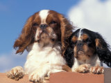 Two King Charles Cavalier Spaniel Adults on Wall Photographic Print by Adriano Bacchella