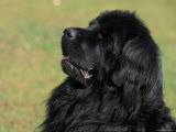 Black Newfoundland Looking Up Lminas por Adriano Bacchella