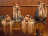 Domestic Dogs, Four Yorkshire Terriers on a Table with Hair Tied up and Very Long Hair Photo by Adriano Bacchella