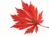 Japanese Maple Leaf in Autumn Colours Photographic Print by Petra Wegner