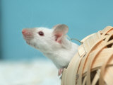 White Mouse at Play Photographic Print by Petra Wegner