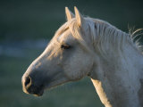 Wild Palomino Stallion, Head Profile, Pryor Mountains, Montana, USA Photographic Print by Carol Walker